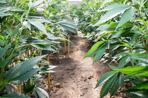 cultivation narcotic plants large commercial quantity